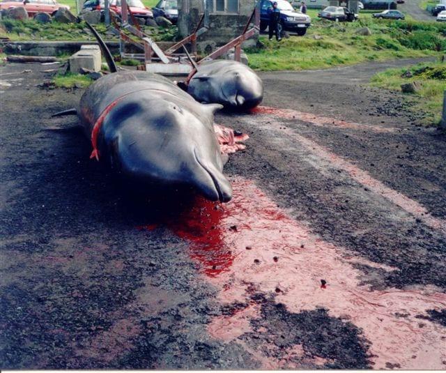 dauphins-faroe_islands