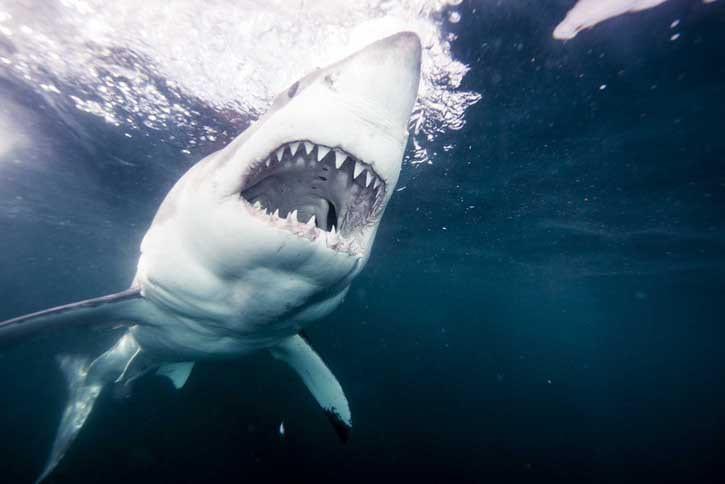 michael-muller-sharks